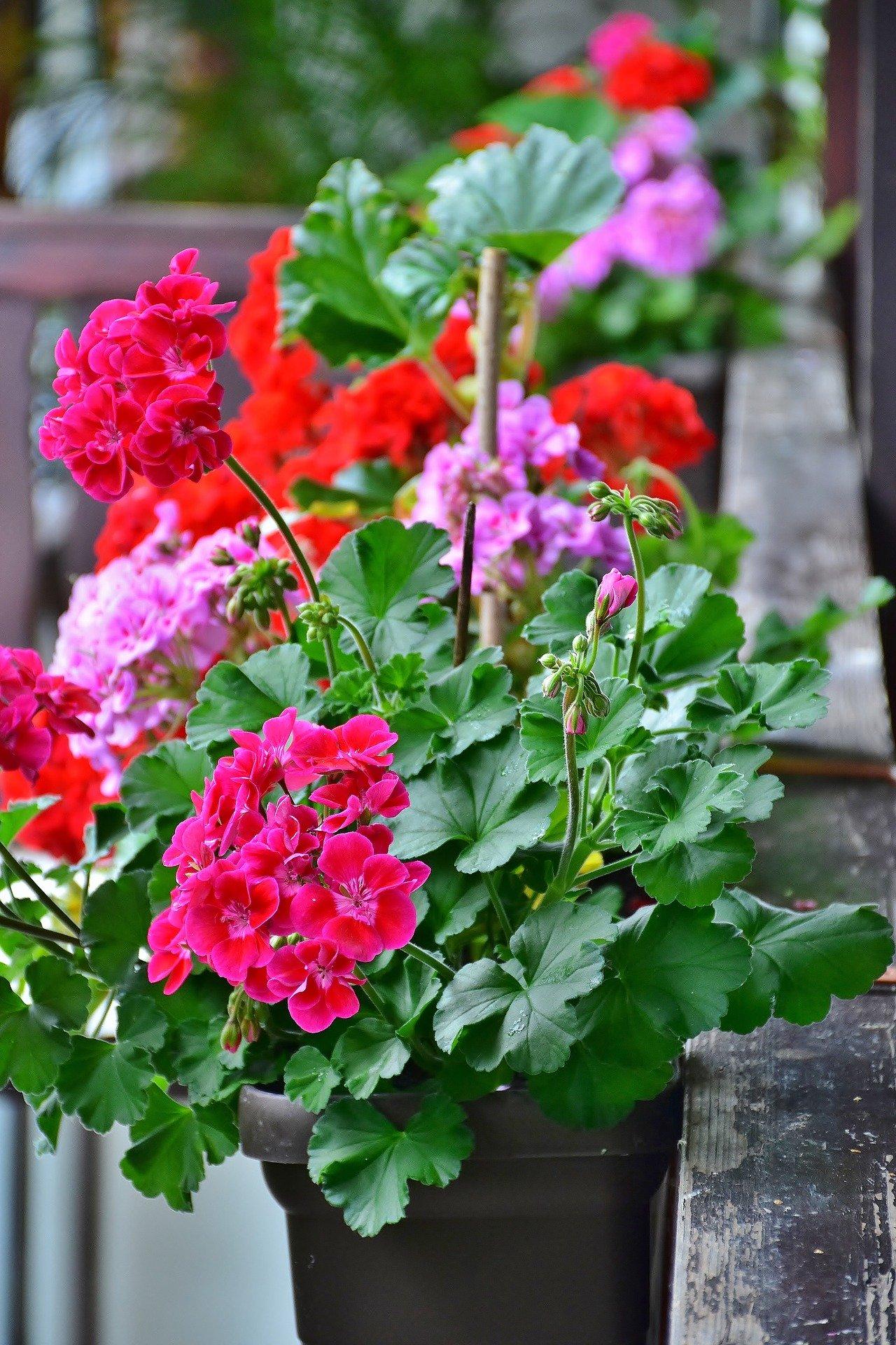 Домашня квітка